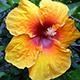 Disfrutando los hibiscos... un aire tropical